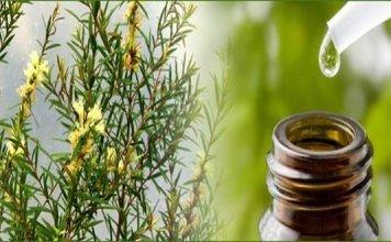 Get Rid of Lice by tea tree oil