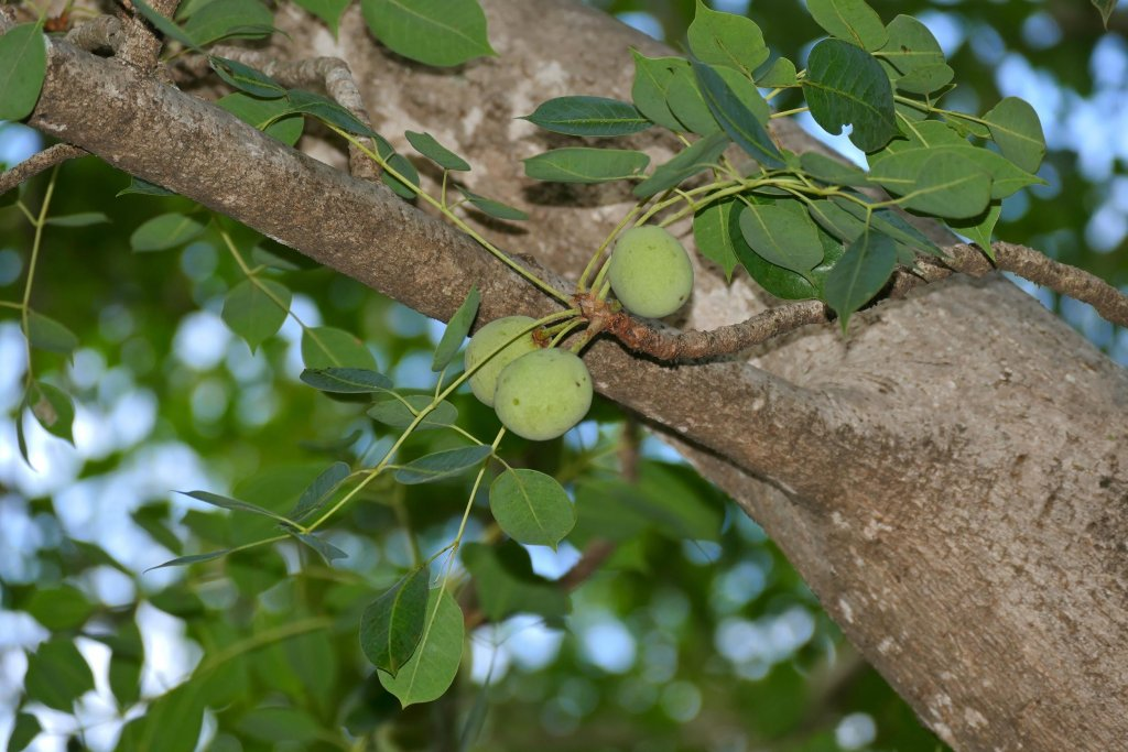 What is Marula Oil