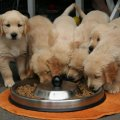 Choosing the Right Brand of Chow for Your Four-Legged Family Member