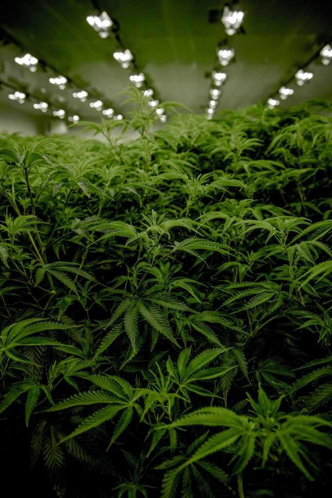 Grow Cannabis Beginners Guide